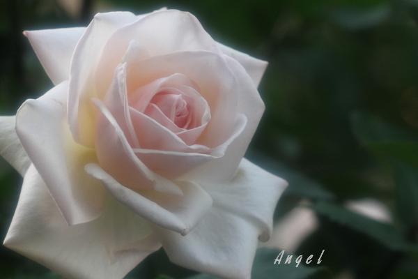 真珠(201205191554)