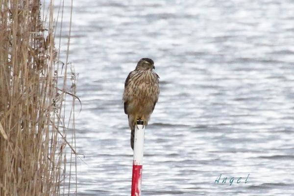 オオタカ幼鳥(201212313261)