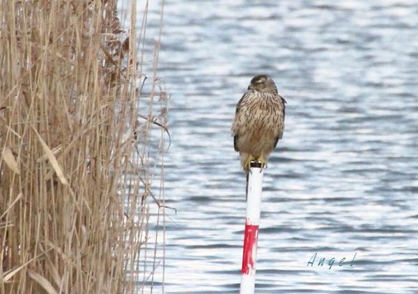 オオタカ幼鳥(201212313287)