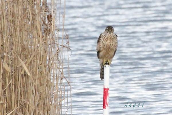 オオタカ幼鳥(201212313284)