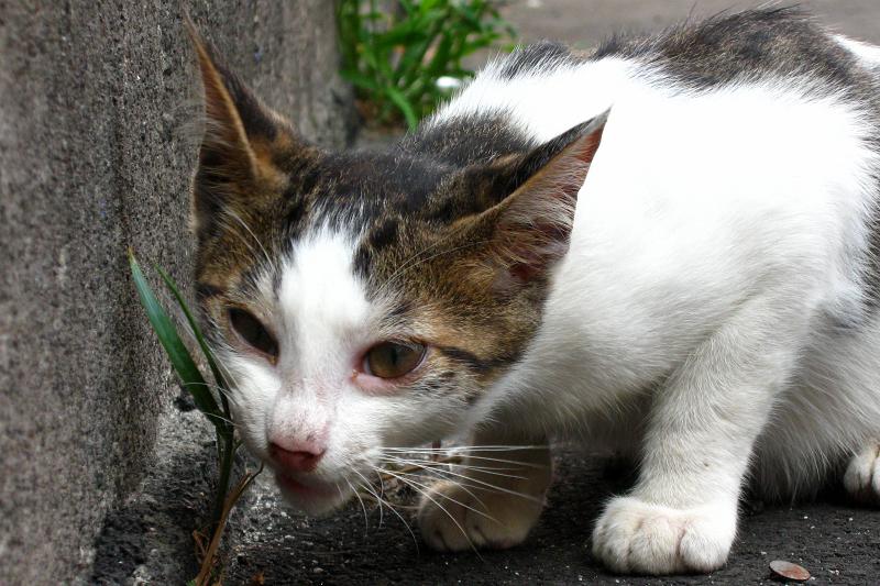 低い姿勢で草を食べる仔猫
