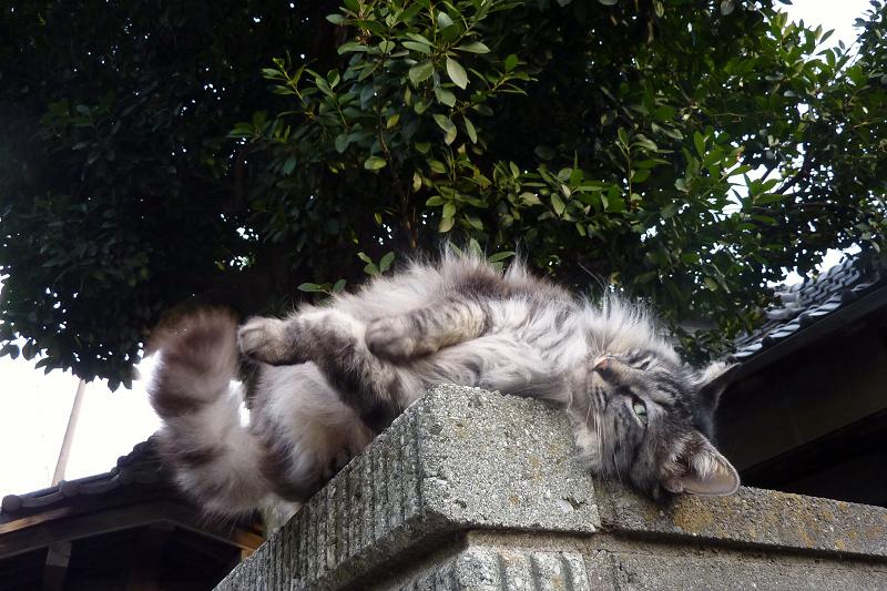 塀の上で転がってるネコ