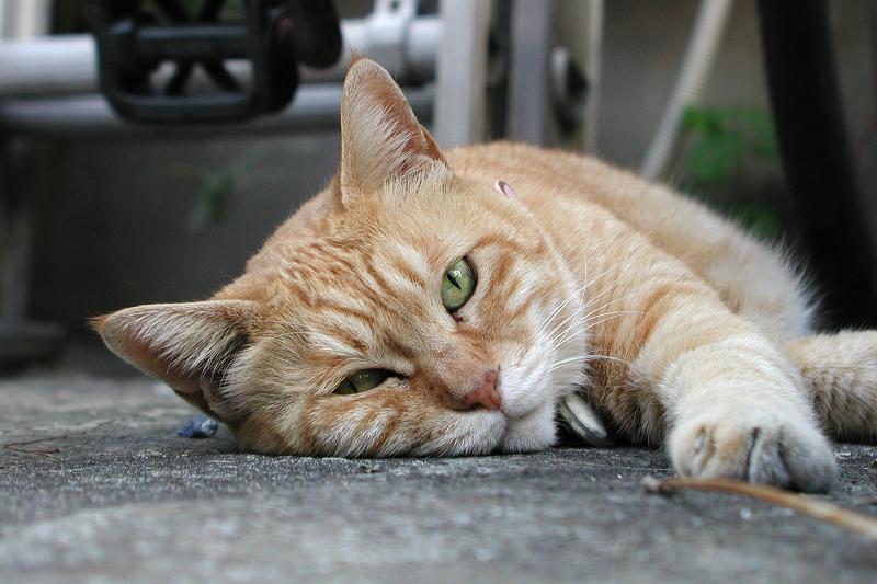 腹ばってカメラを見つめる猫