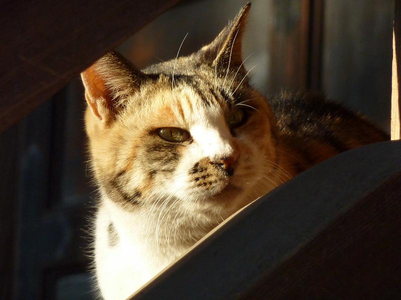 夕陽を受けて輝いているネコ