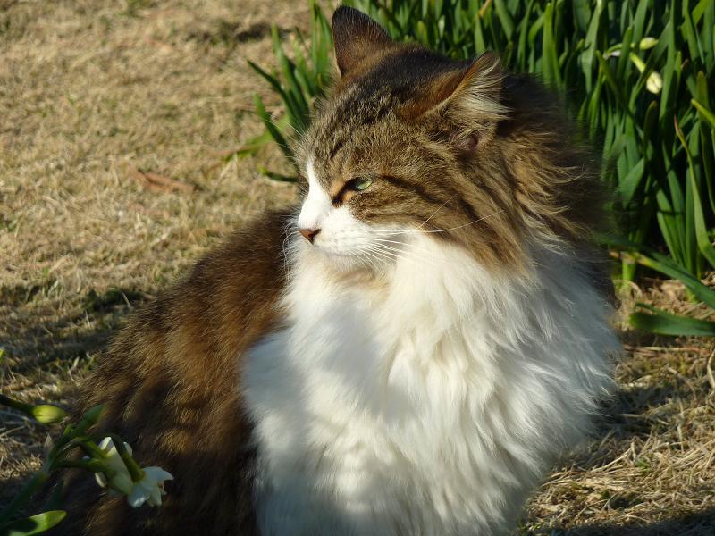 キリリとした表情の毛長のネコ