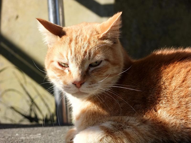 横からの陽射しを受けて睨むネコ
