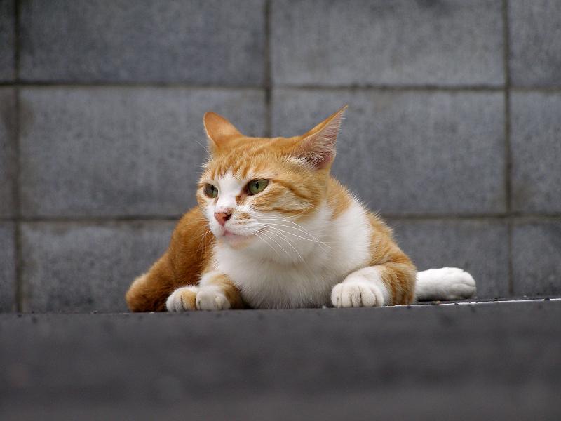 駐車場で犬の様に腹ばってる猫