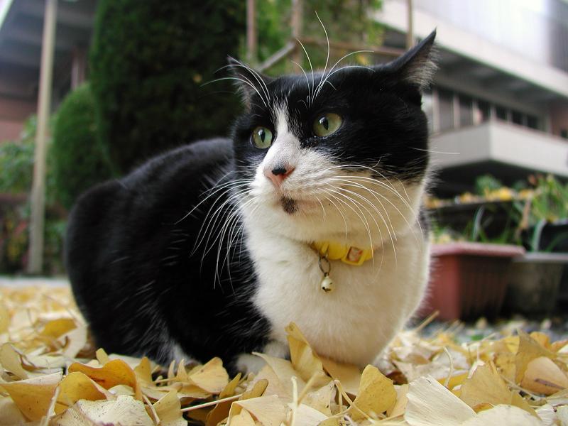 いちょうの落ち葉の上に座るネコ