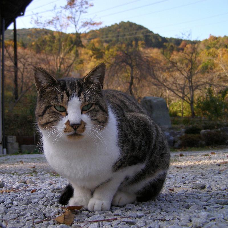 秋色の山と座ってるネコ