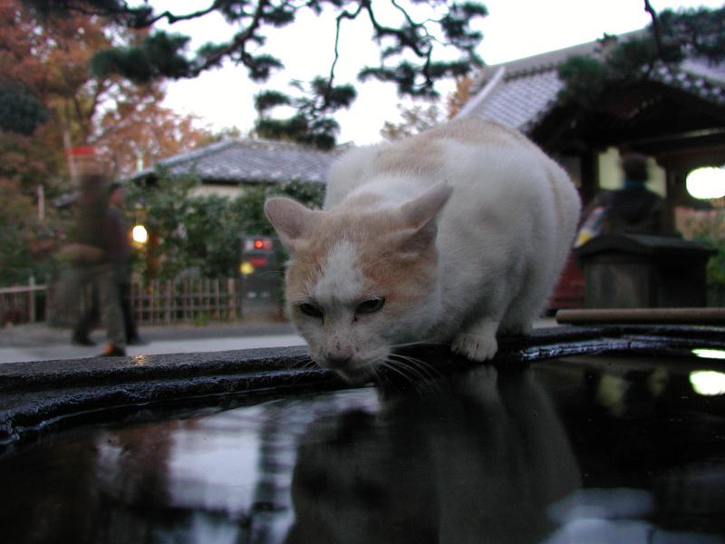 夕暮れに手水場で水を呑むネコ