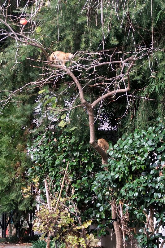 柿ノ木に上ってる仔猫