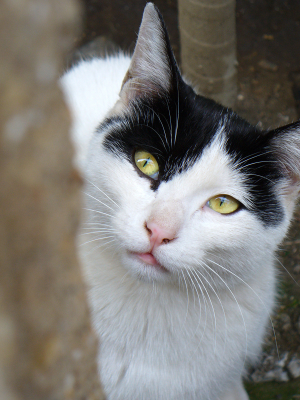 空を見上げる金色の瞳の猫