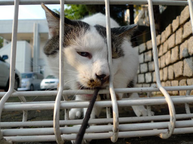 金網に顔を突っ込んでまでゴム紐を咥えるネコ