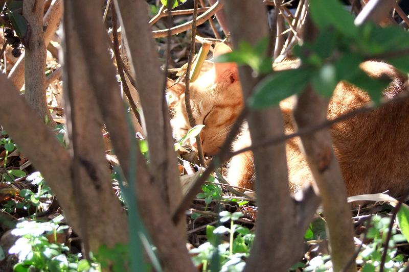 植え込みの中でスヤスヤと寝てるネコ