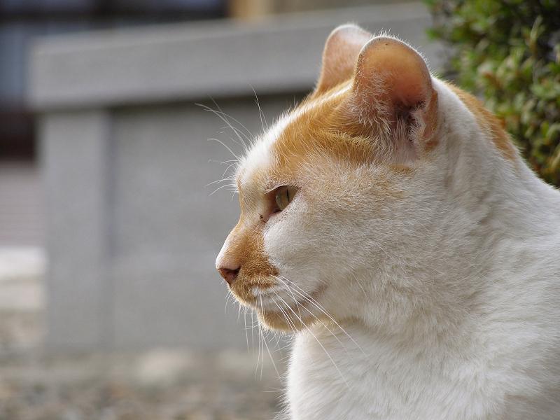 爽やかな横顔をみせる白茶猫