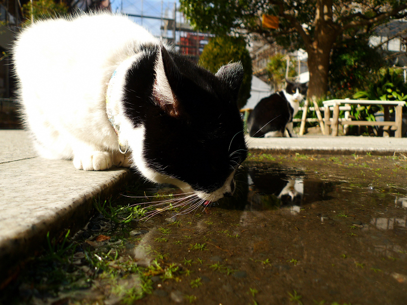 水溜まりで水を呑むネコ