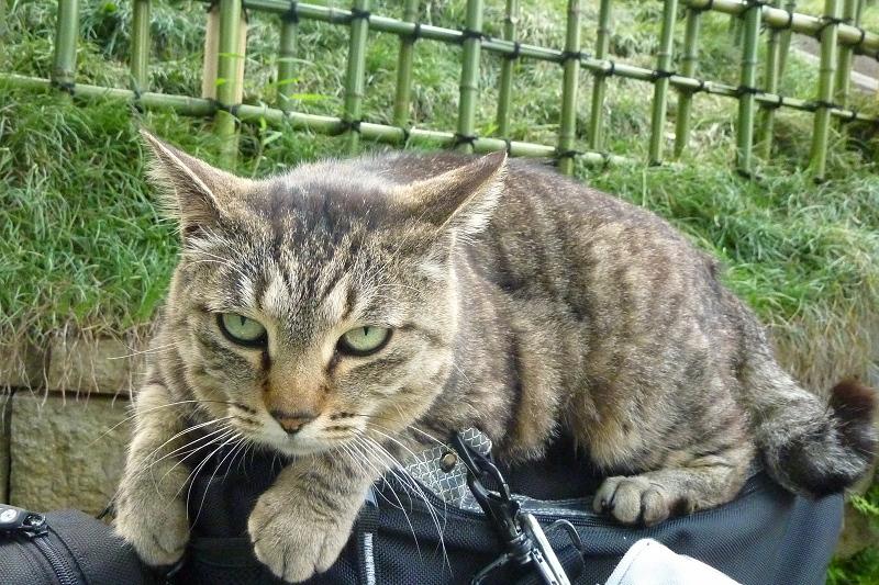 カメラバッグに乗ったキジトラ猫