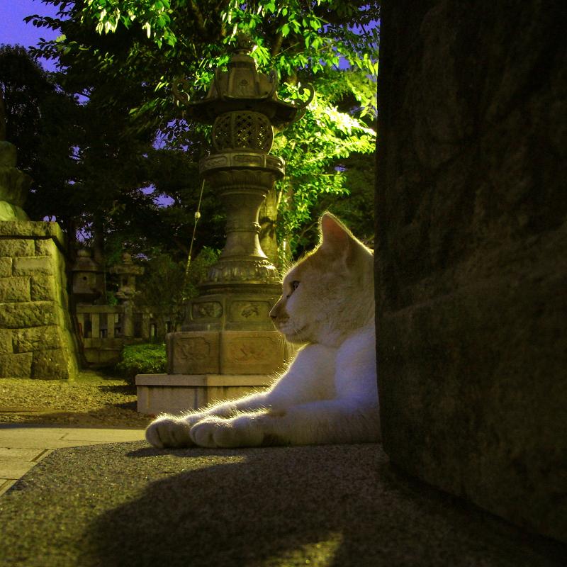 夜の境内の猫