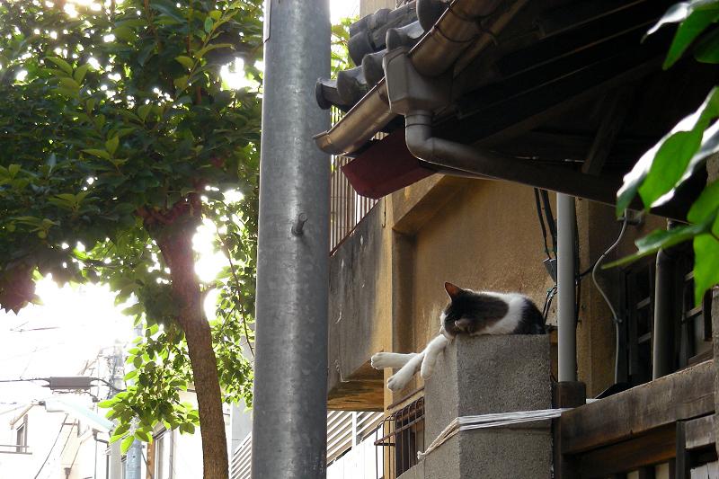 暑い日に民家の門柱の上で昼寝をしている猫