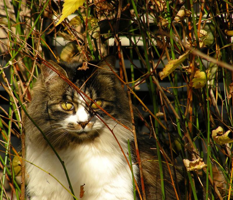 ジーッと見つめる洋猫風のネコ
