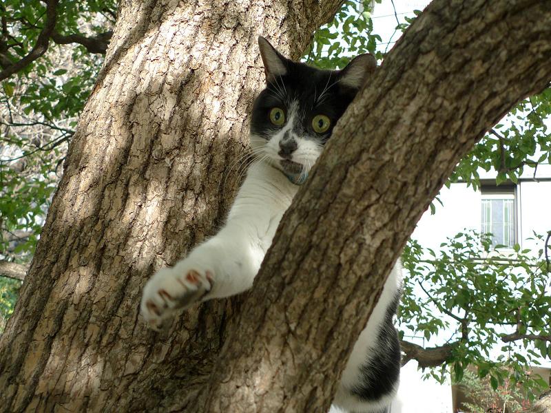 楠木の木の股のネコ