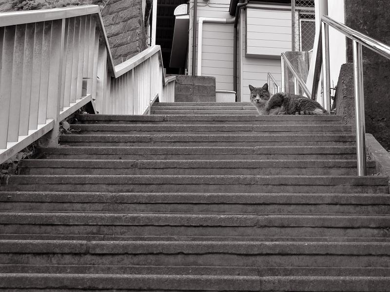 階段の途中で下を見ている猫