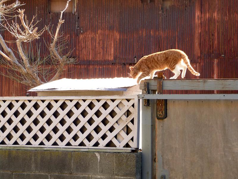 門扉の上を歩くネコ