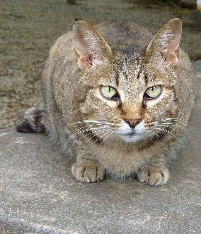 不思議顔で見つめる猫