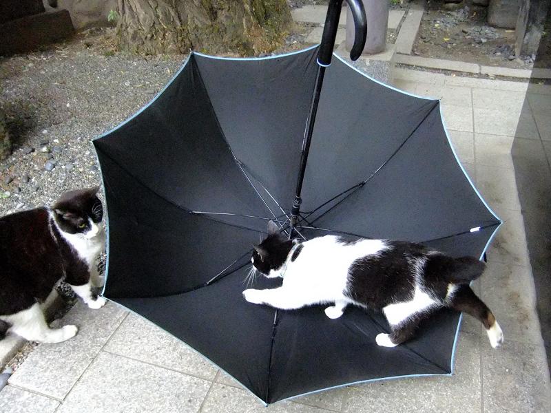 雨の日に傘に入って遊ぶ猫