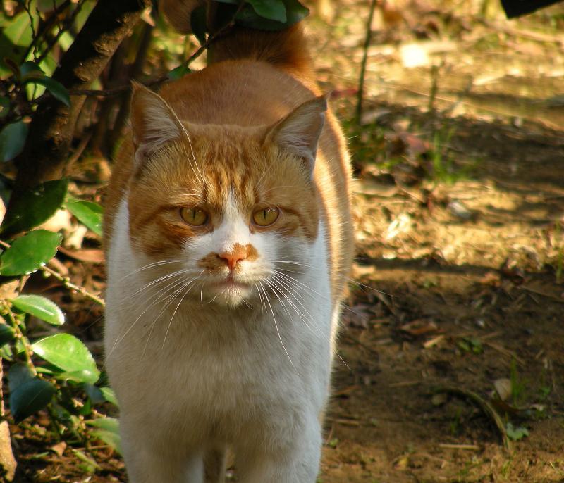睨み顔で寄ってくるネコ