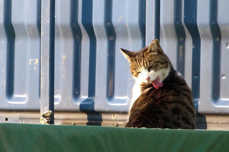 軽トラの荷台で体をなめてるネコ
