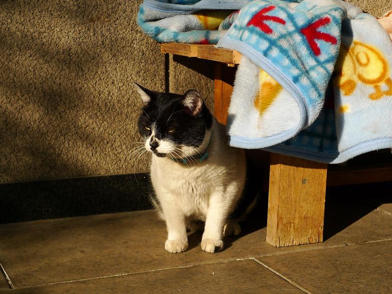 毛布から出て来たネコ