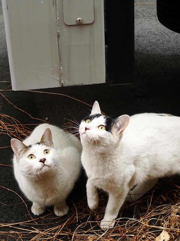 真剣に見上げるネコたち