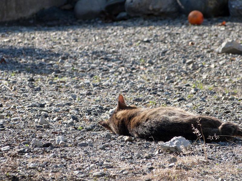 空き地で寝てるネコ