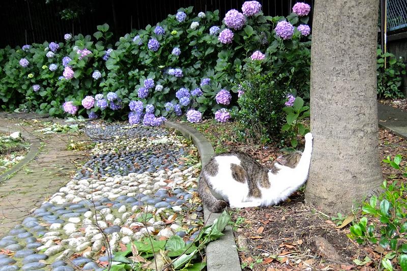 紫陽花が咲く公園の猫