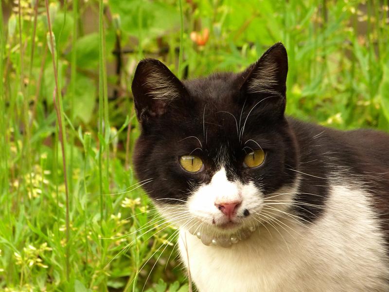 お洒落な首輪の黒白猫
