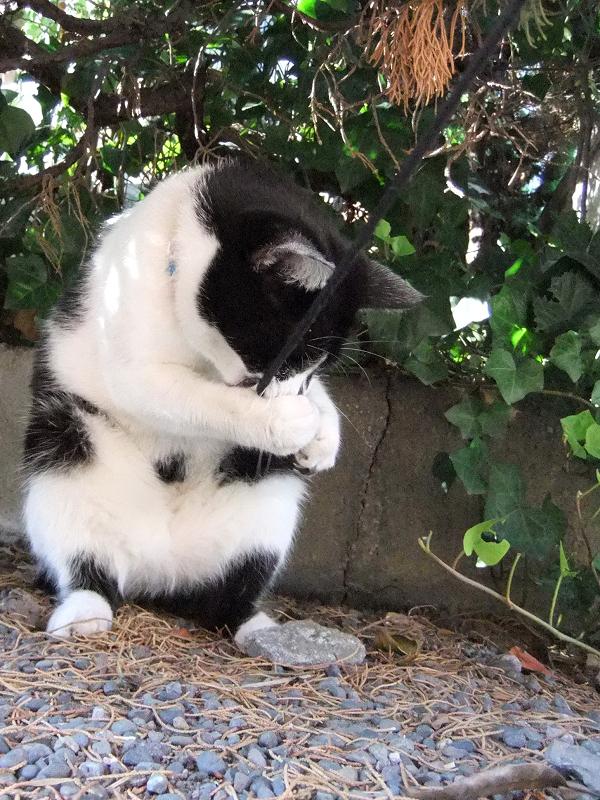 ゴム紐をお腹でナイスキャッチする猫
