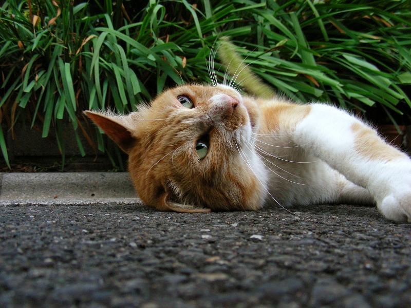 猫じゃらし草を見上げる猫