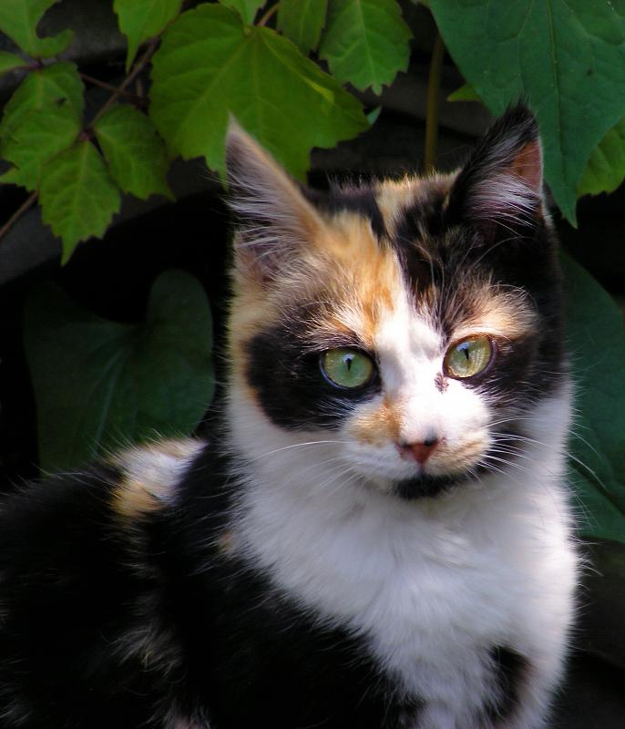 真剣にカメラを見つめる三毛猫