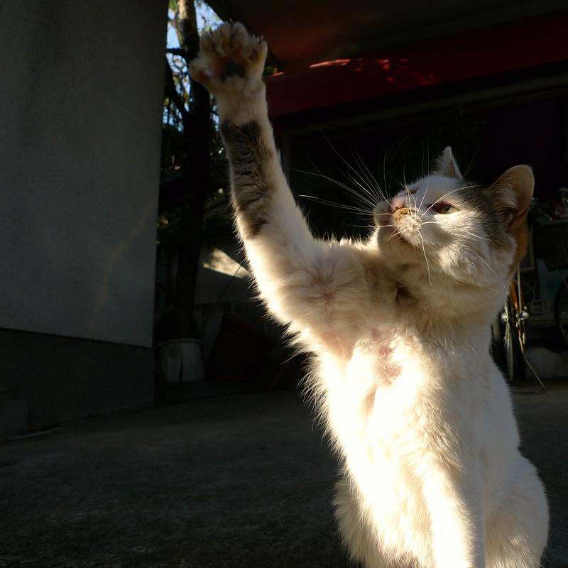 ユックリとゴム紐に手を伸ばすネコ