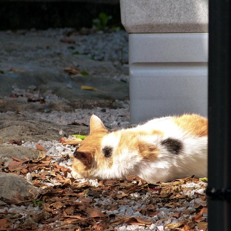 日射しを背中に受けて寝てるネコ