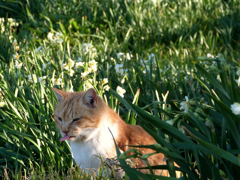 水仙畑でベロを出すネコ