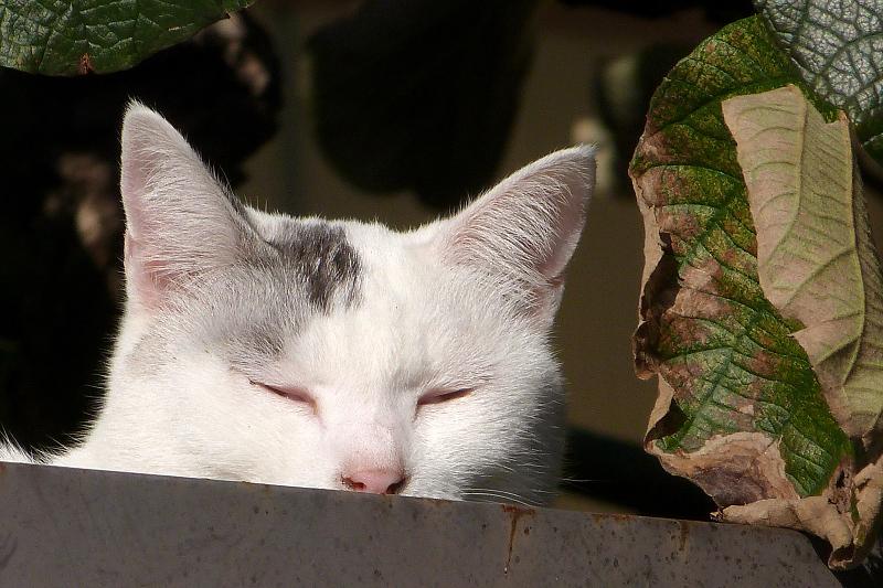 眠くて目が開かないネコ