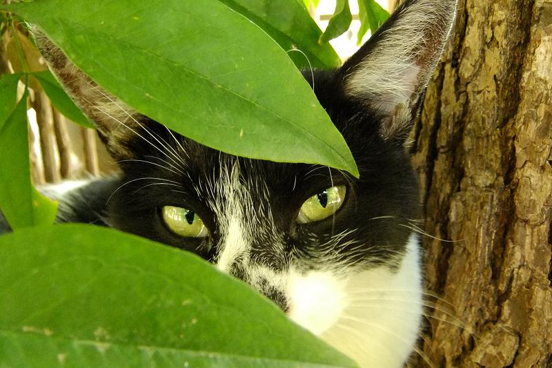 葉と葉の隙間から睨む猫