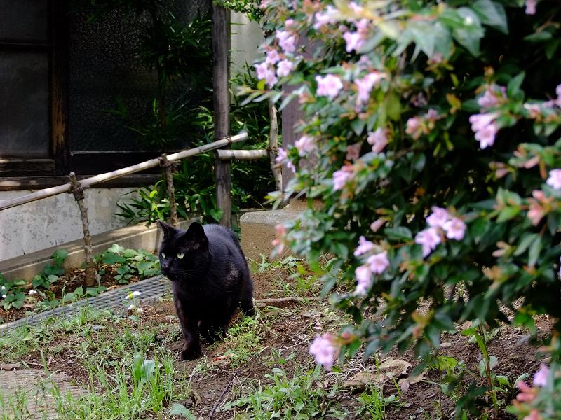 花の向こう側から登場する黒猫