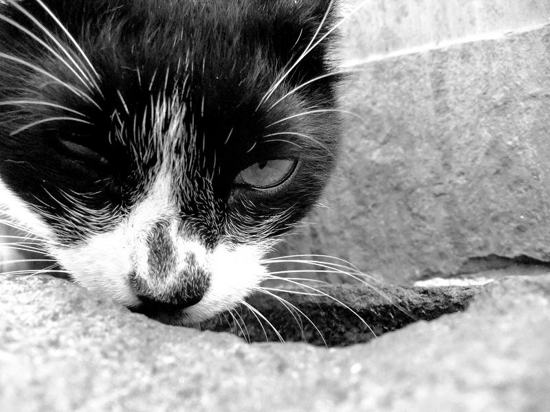 水を飲む猫をモノクロで