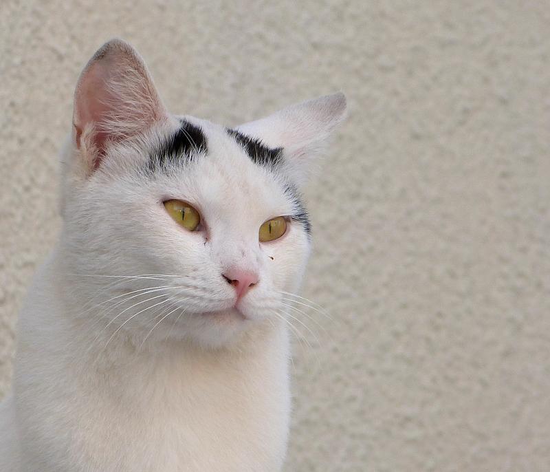 前髪がユニークな柄のネコ