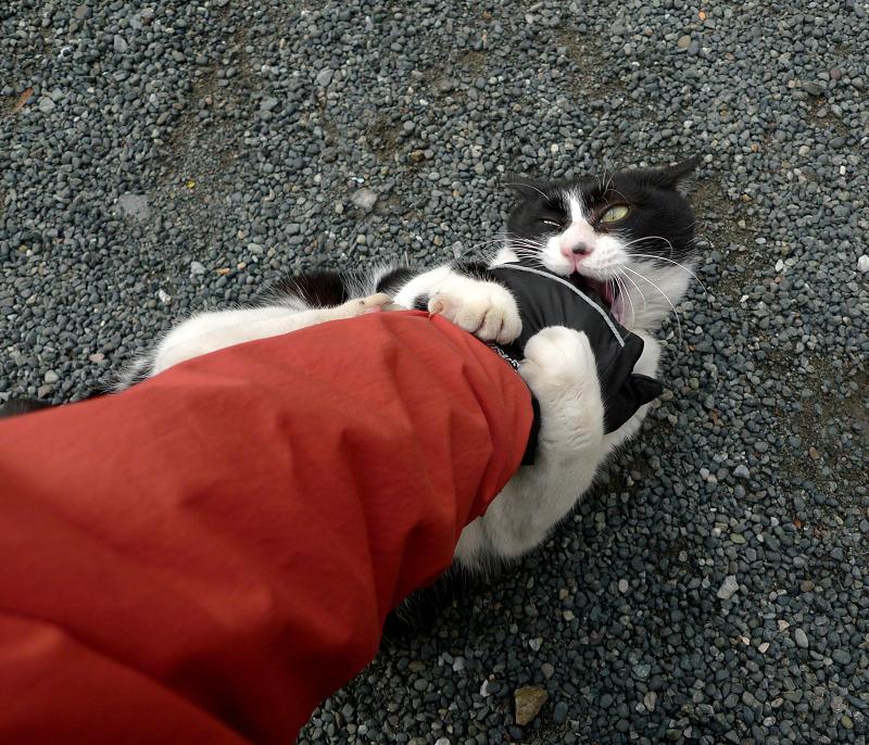 私の手を噛みまくるネコ
