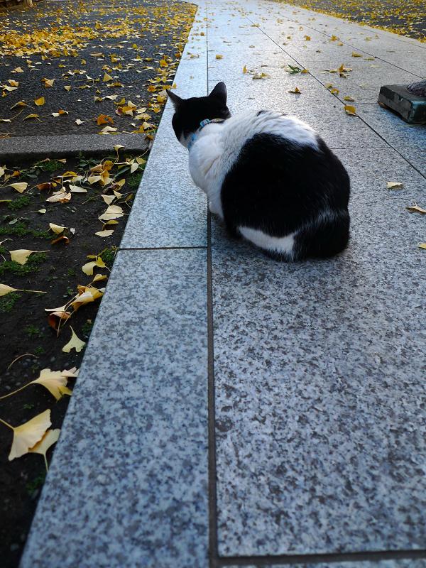 イチョウの落ち葉を見ているネコ