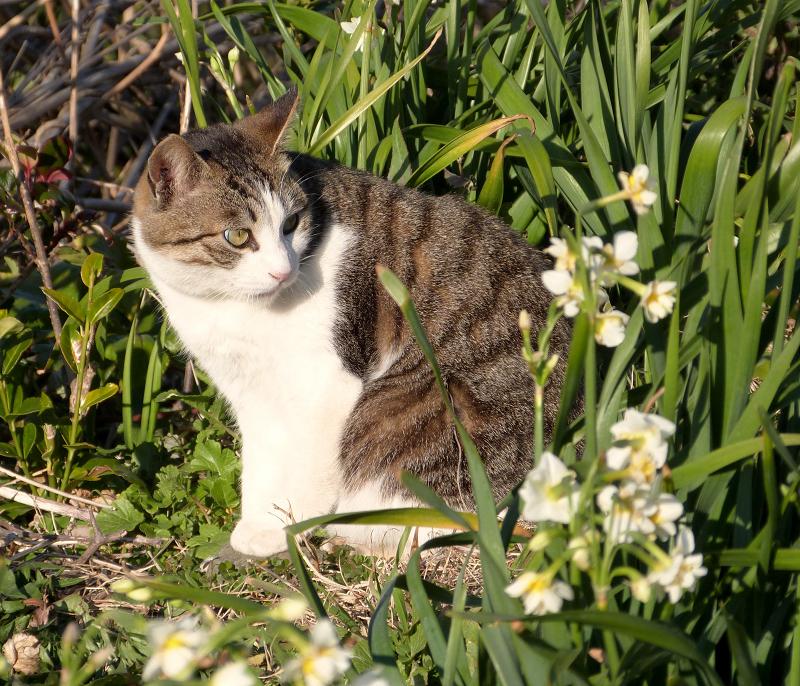 振り返りのポーズの水仙のネコ